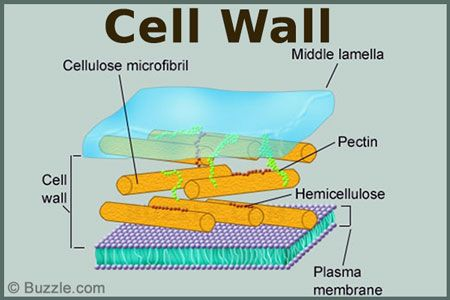 cell wall is the outermost covering of a cell present on cell wall function id=71804