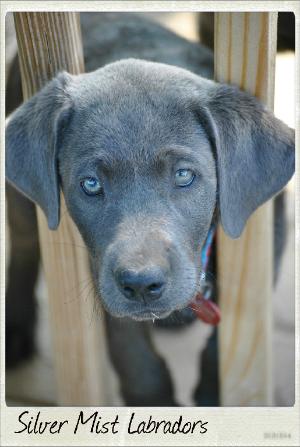 Silver Mist Labradors Ofa Health Testing Champion Labs For Sale Labrador Breed Labrador Retriever Golden Labrador Puppies