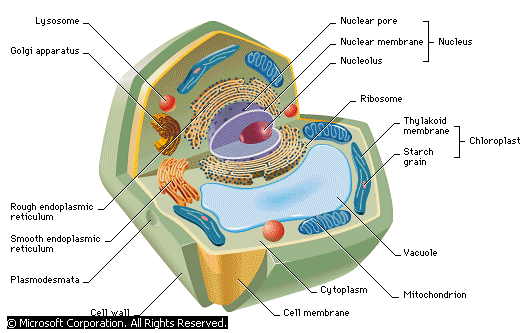 Anatomy of a Typical Cell (Powerpoint Presentation) - Forestrypedia ...