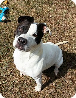 Nikita Urgent Colonial Heights Animal Shelter In Virginia Adopt Or Foster 10 Year Old Spayed Female American Staffordshire Terrier American Pit Bull Ter