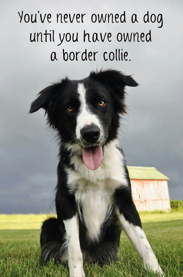 In Memory Of Wylie A Border Collie Kelpie Cross Border Collie Border Collie Puppies Collie Dog