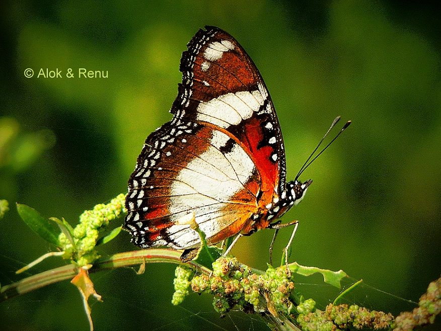Female great eggflyhypolimnas bolina photographed by