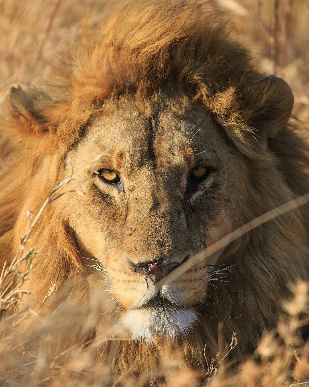 Photo By Ashleyainsborough In The Morning Sun A Lion