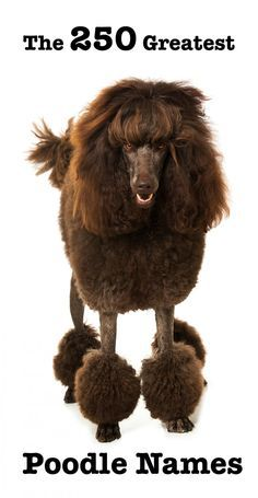250 Perfect Poodle Names - Awesome Ideas For Naming Your Poodle
