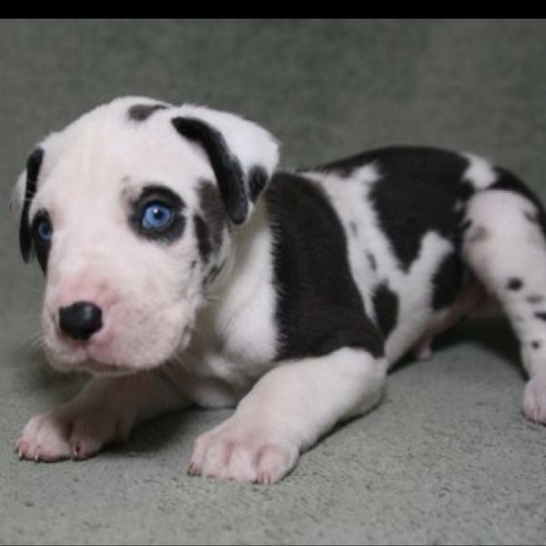 Dane Puppy Dane Puppies Baby Animals Pictures Cute Dogs