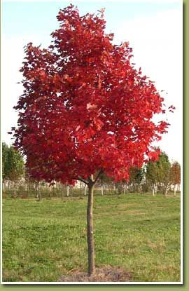 Wright brothers sugar maple acer s 39 wright brothers for Small tree varieties