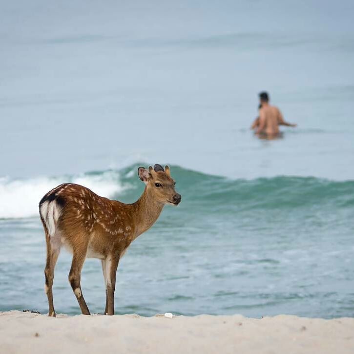 58f710b771983e Now here s something you don t see everyday - a sika deer on the beach