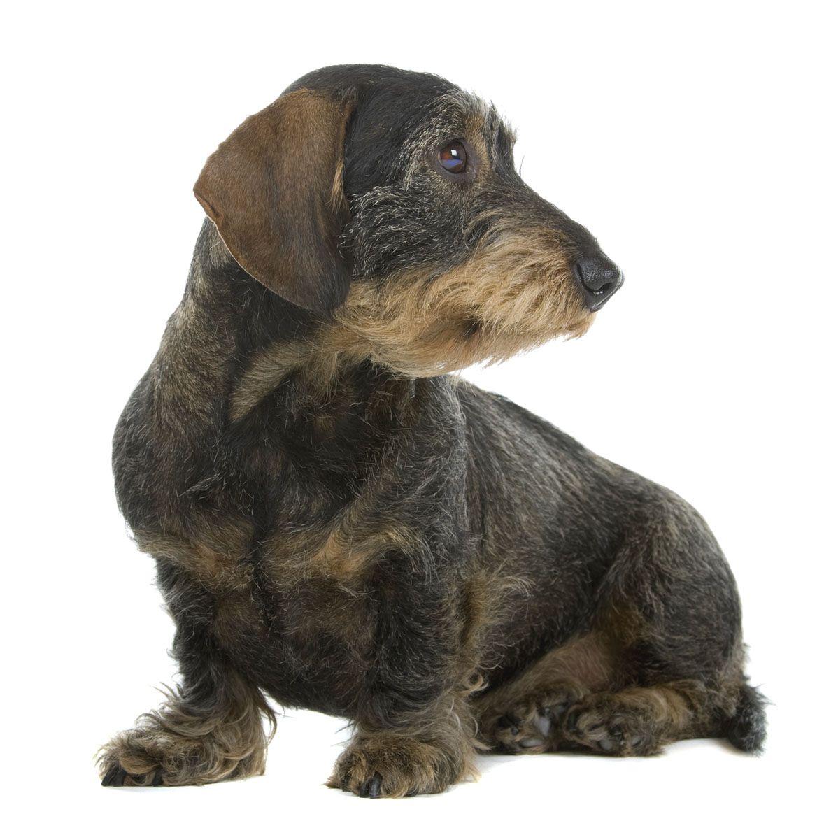 Wild Boar Wire Hair Jpg 1178 1184 Dachshund Dogs