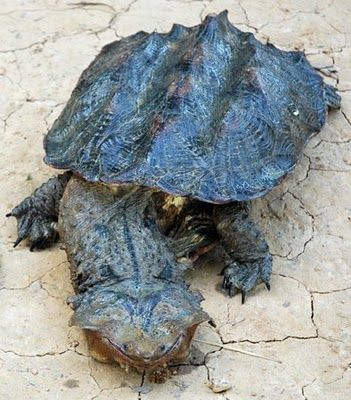 The Matamata Turtle (Chelus fimbriata) is a freshwater turtle found in South America, primarily in the Amazon and Orinoco basins. It is the only extant species in the genus Chelus.  Kinda nightmarish.  by Dawn on the Amazon