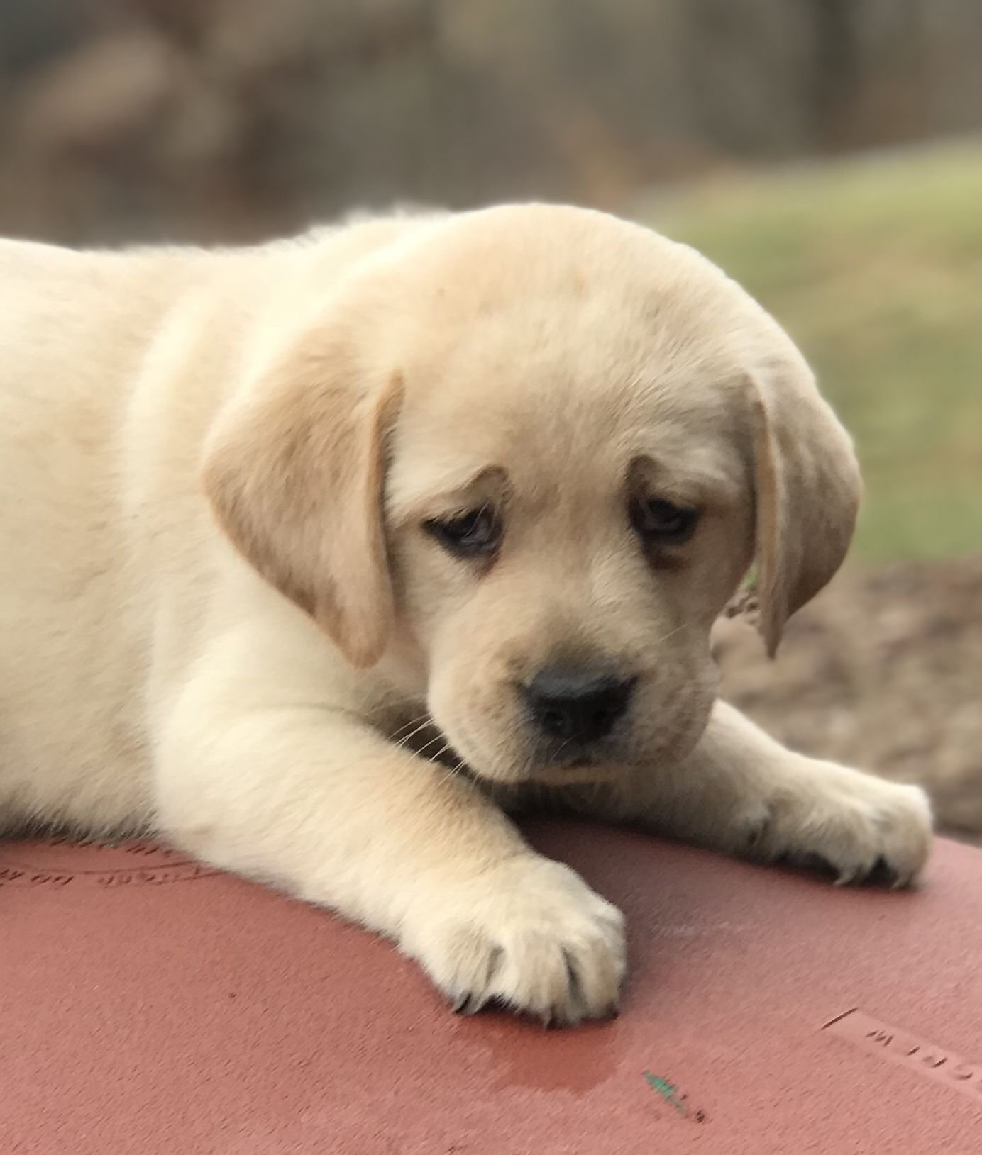 Buster A Male Akc Labrador Retriever Puppy For Sale In Mansfield