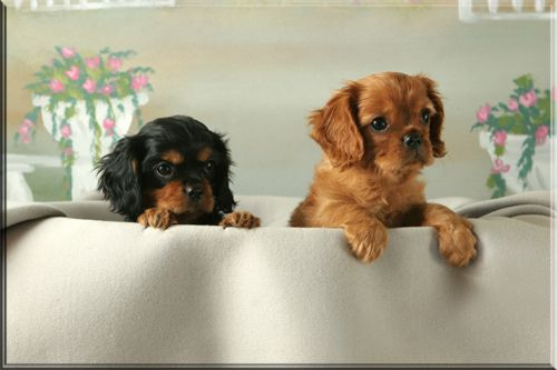 Cavaler King Charles Spaniels: Black and Tan and a Ruby