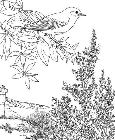 Nevada Mountain Bluebird And Sagebrush Coloring Page Bird