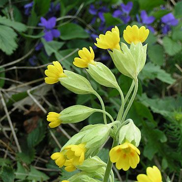 coucous et violettes   Fleurs sauvages   Pinterest ...