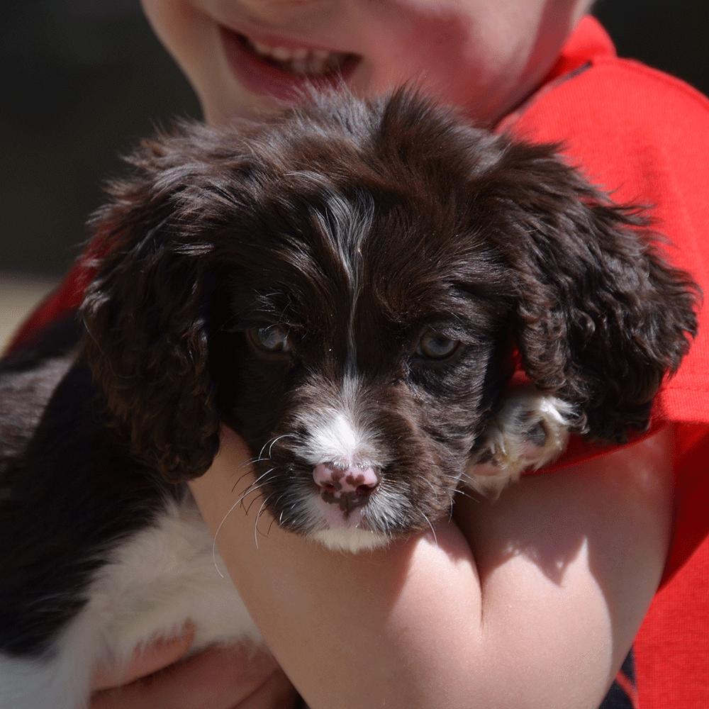 Springerdoodles Mix Between English Springer Spaniel And Poodle Springerdoodle Puppies For Sale Doodle Puppy