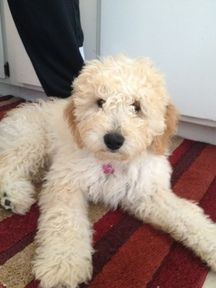 Beautiful Mini F2b And Standard Size F1b Goldendoodle Puppies
