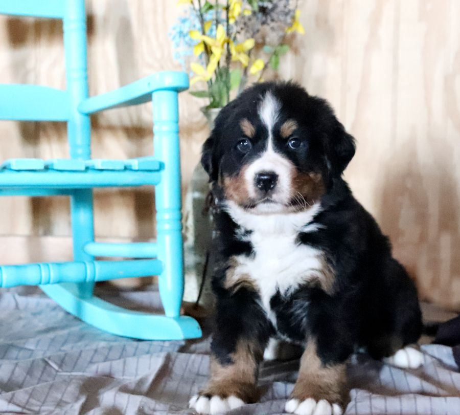 Puppies for Sale Puppies, Bernese mountain dog puppy