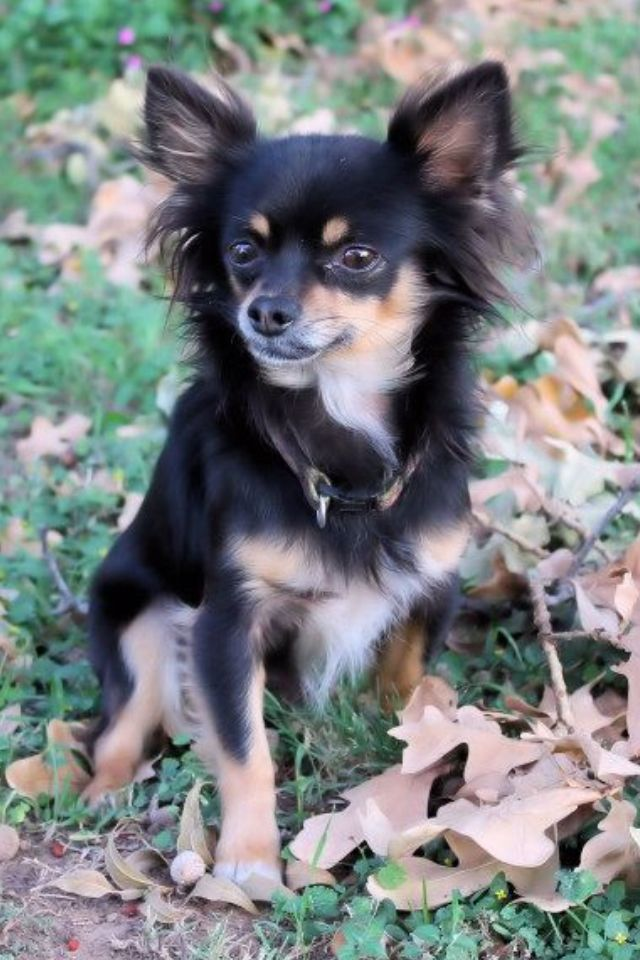 Long Hair Chihuahua With The Deer Head And Large Normal Bred Those Small Short Haired Apple Heads Should Chihuahua Dogs Pets Chihuahua Dogs Chihuahua Love