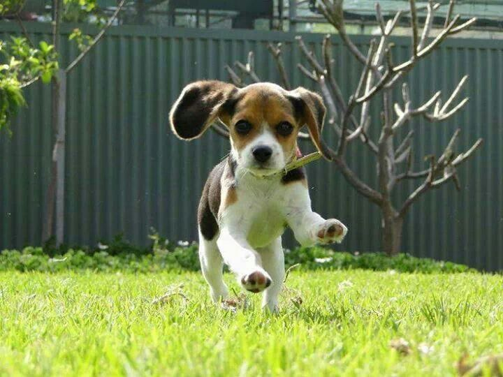 Running Free Beagle Puppy Cute Beagles Puppies