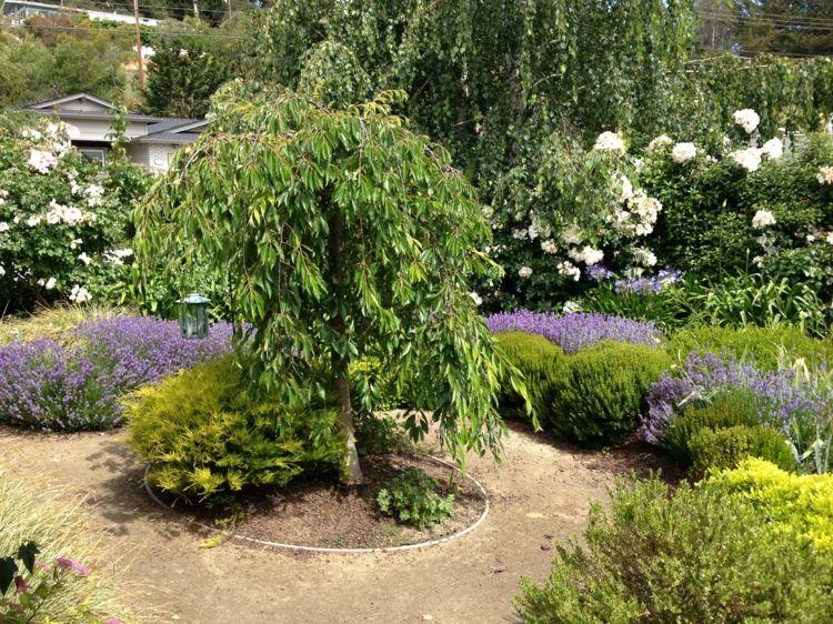 haengebaeume-garten-kirsche-blickfang-rund-beet-lavendel-deko - bauerngarten anlegen welche pflanzen