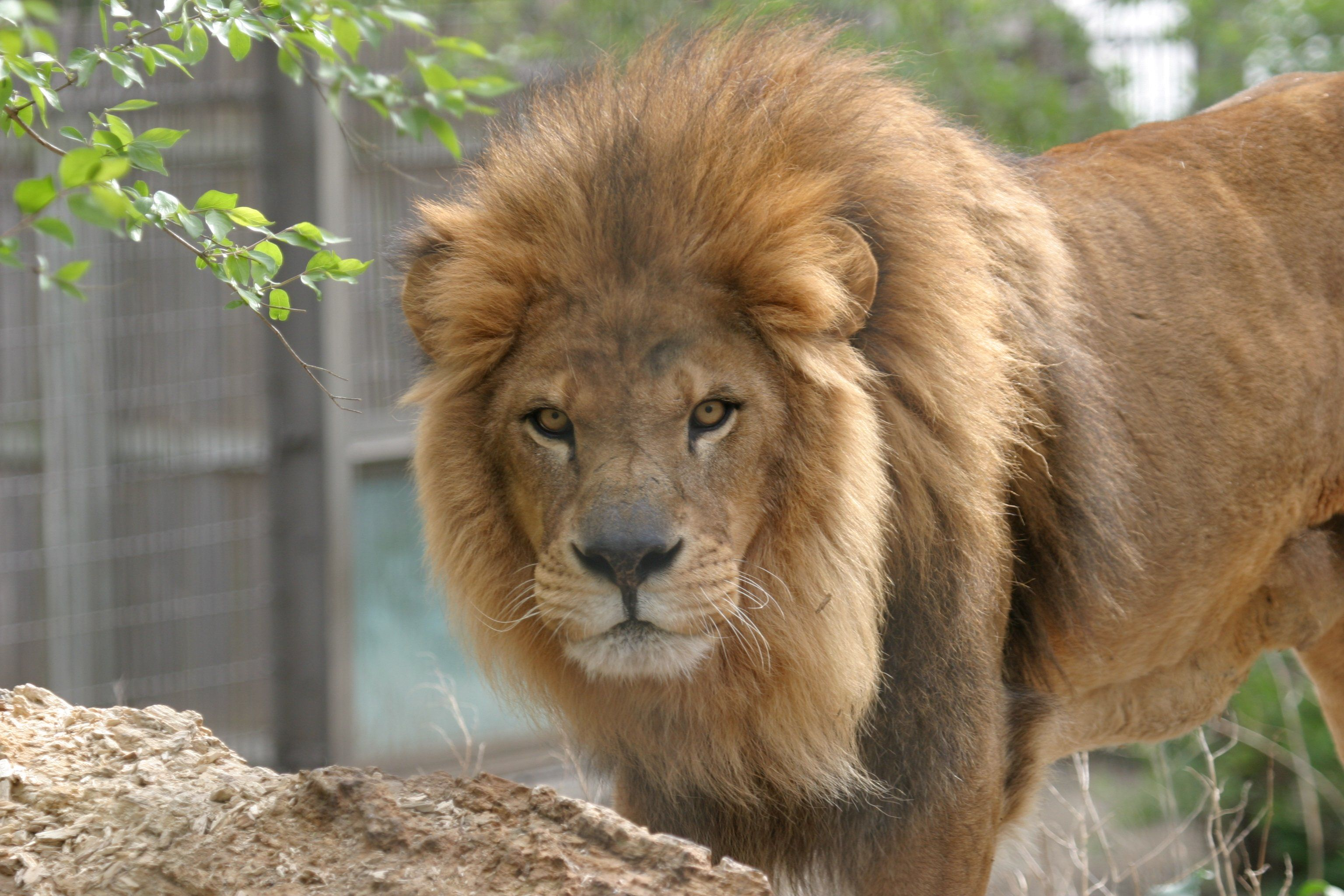 10 Different Types Of Lions with Fact and Pictures Lion
