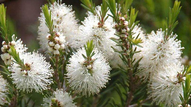 aromatherapyblog Exploring the Myrtaceae plant family