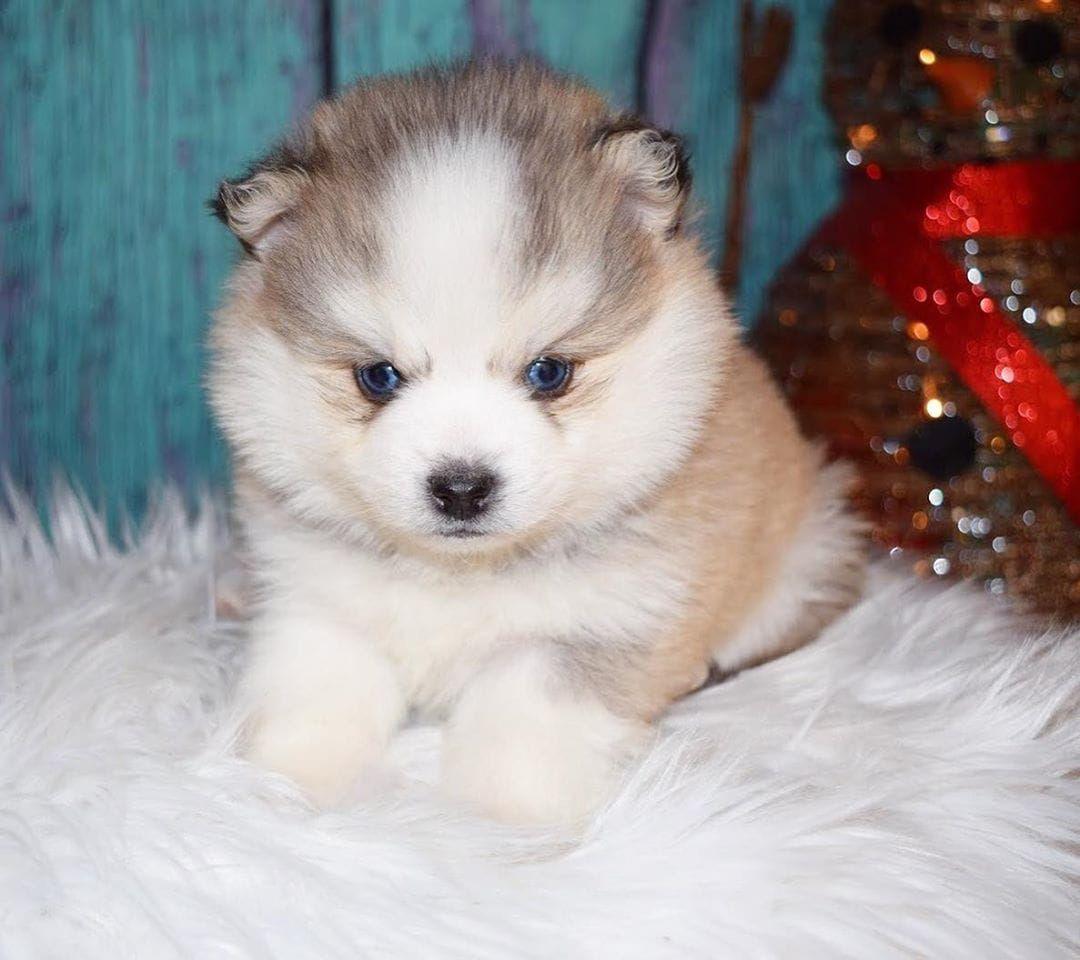 Lovely And Playful Blue Eyes Pomsky Puppies Pomsky Puppies