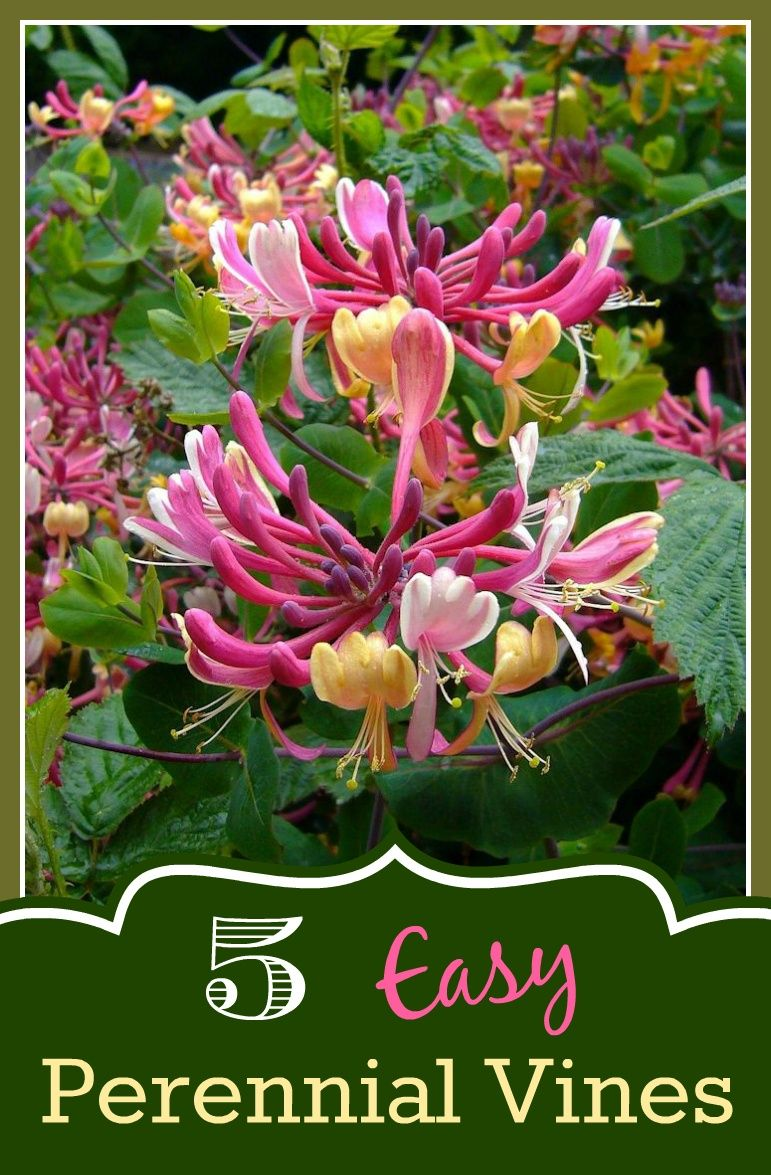 5 Easy Perennial Vines For Your Garden Perennials Easy And Gardens