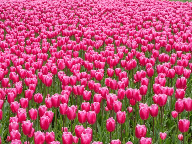 Pink Tulip Flower Field Background Flower Field Flowers Colorful Flowers
