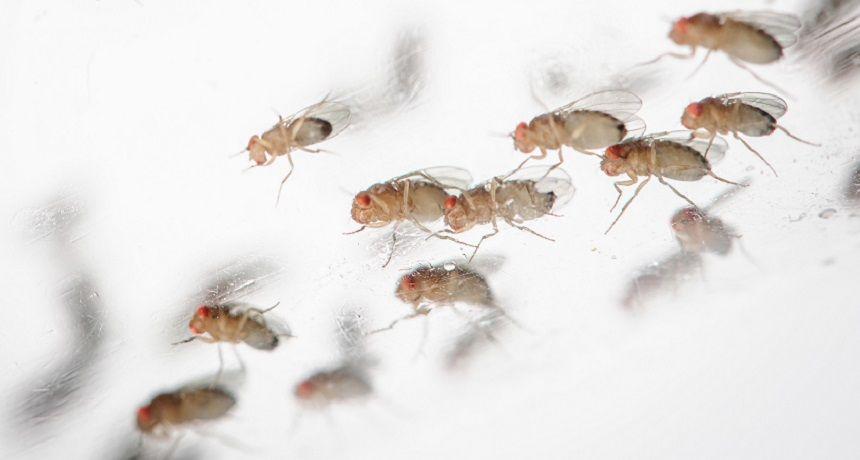 Catching ZZZs may retrieve lost memories | Fruit flies ...