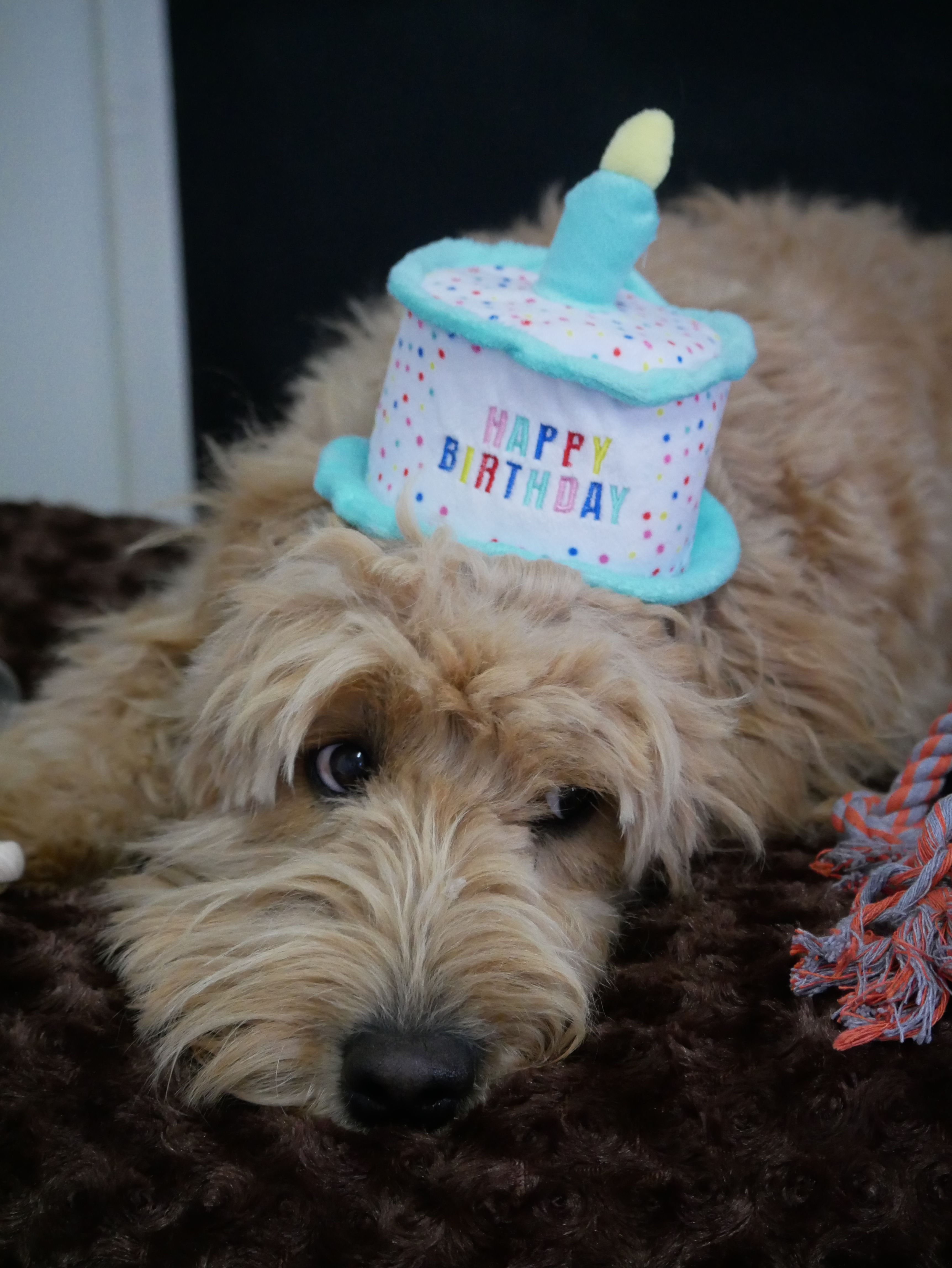 Happy 1st Birthday Tillee Groodle Happy 1st Birthdays 1st