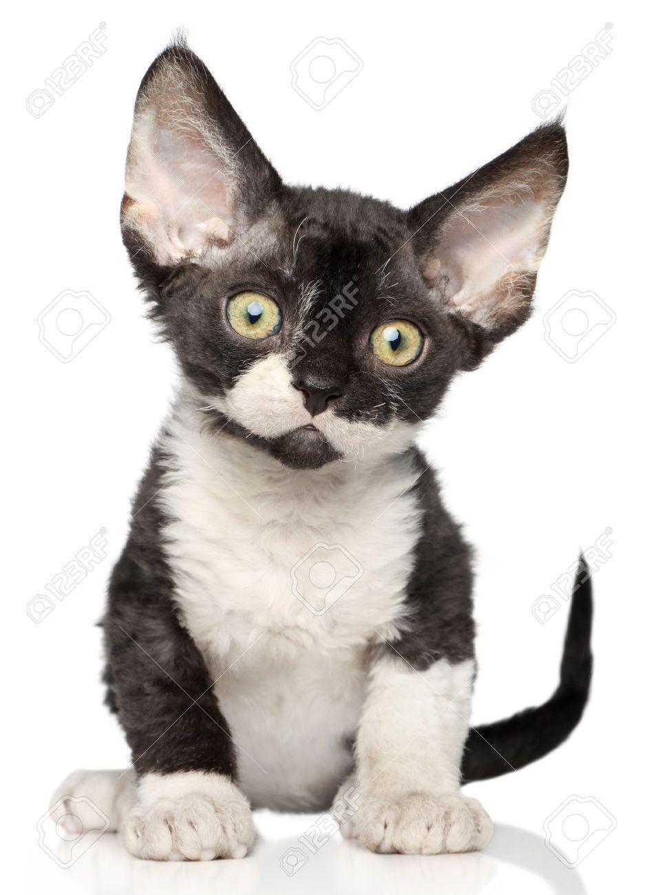 Devon Rex Kitten A White Background Stock Picture And