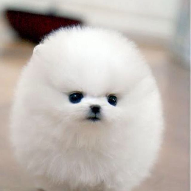 Just a little puffball! I love Dogs! Pinterest Dog