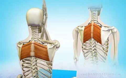 rhomboid  yoga anatomía biología