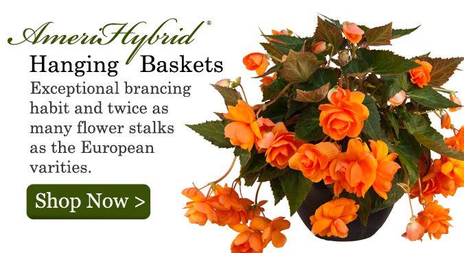 Orange Begonias, Hanging Basket Begonias, Hanging Basket Begonia Bulbs, Hanging Basket Begonia Tubers