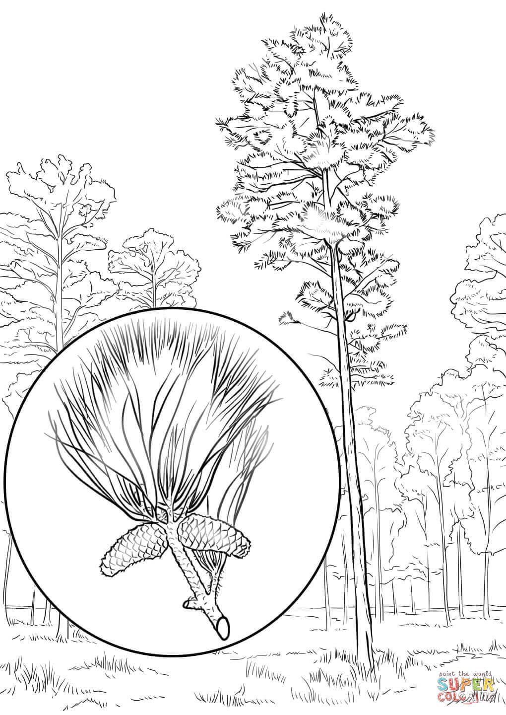 Loblolly Pine Coloring Page Free Printable Coloring Pages Tree