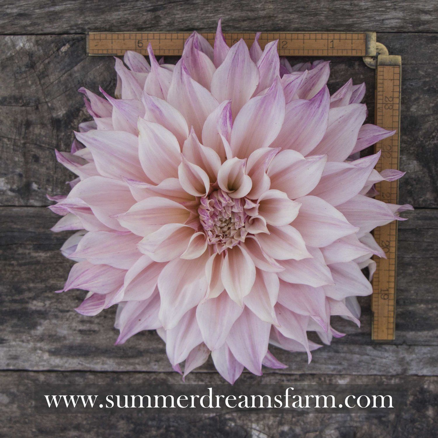 Dahlia Café Au Lait Royal Dahlia Summerdreamsfarm Dahlia Flower Cafe Dahlia Care