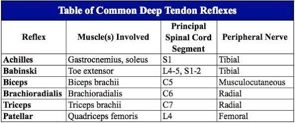 Image Result For Deep Tendon Reflexes Chart Reflexes Biceps Brachii Peripheral Nerve