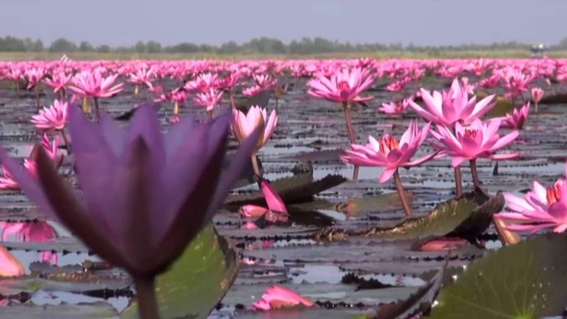 Thale Buadang Lotus flowers at lake Kumphawapi Udonthani - YouTube ...