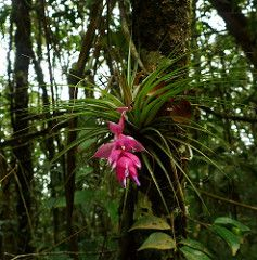 Bromelia Tillandsia stricta, Mata Atlanica, SP, Brasil (MariaOgr) Tags: brasil sp bromelia stricta mataatlanica bromeliatillandsiastricta