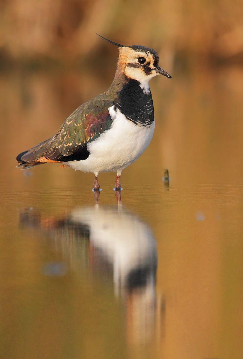 Northern Lapwing (Vanellus vanellus) common in temperate Eurasia