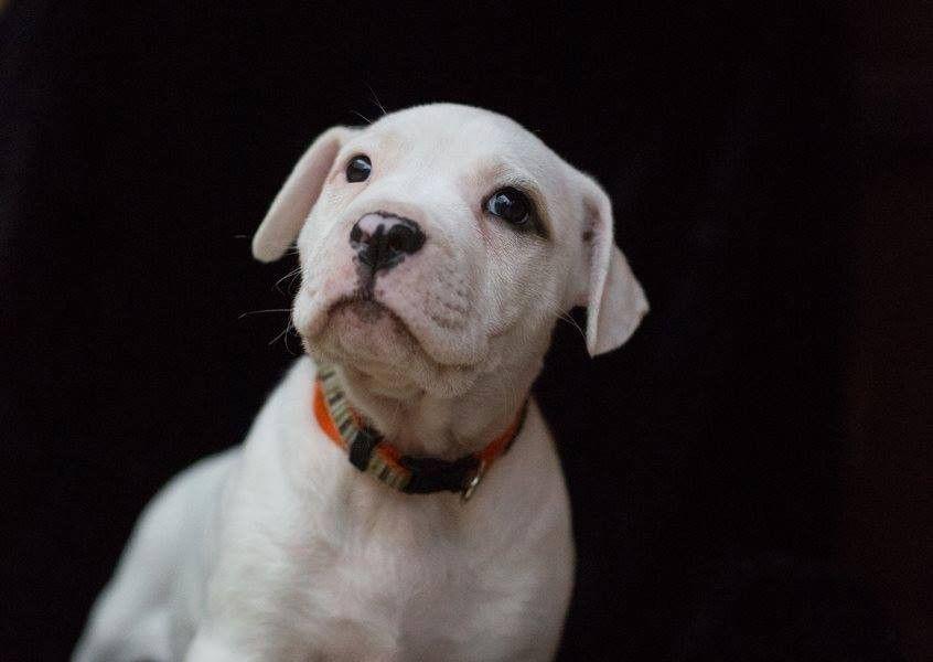 Rarity American Bulldog X American Staffordshire Terrier X