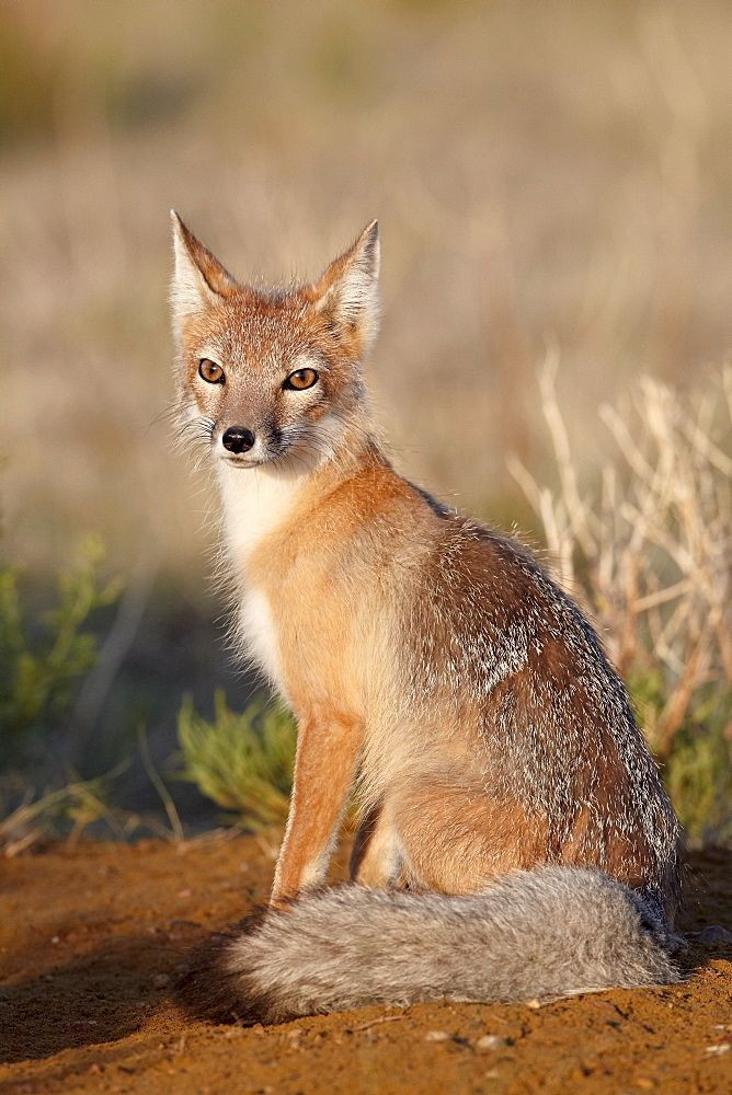 Swift fox (Vulpes velox), Pawnee National Grassland