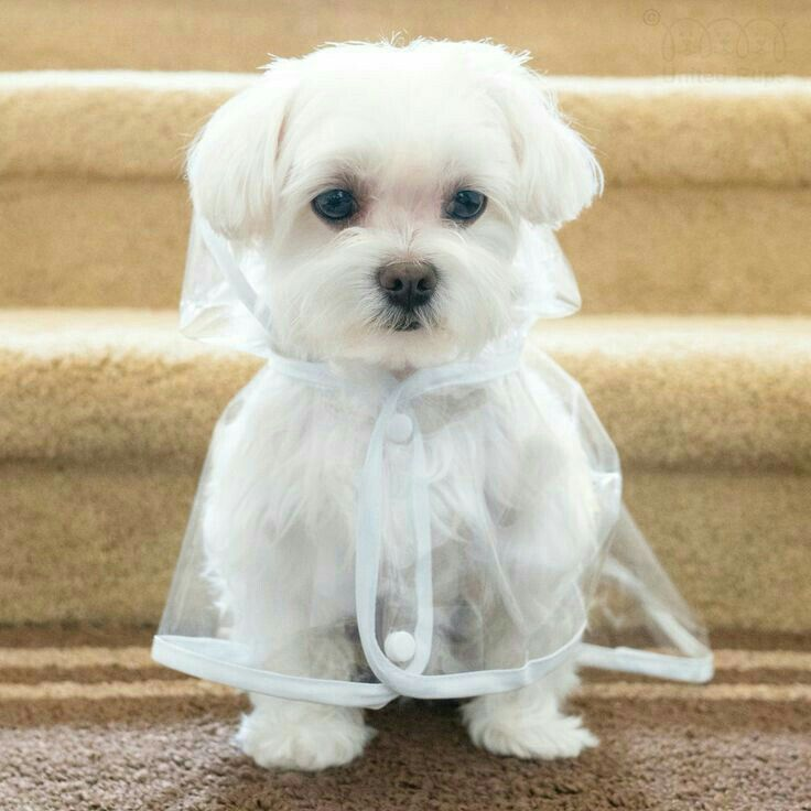 I Will Be Dry In The Rain Now I Need Boots Puppies Maltese Puppy