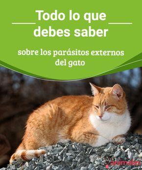 Todo Lo Que Debes Saber Sobre Los Parásitos Externos Del Gato Pulgas Garrapatas ácaros Y Piojos Son Los Parásitos Externos Del Gatos Pulgas Gatos Perro Gato
