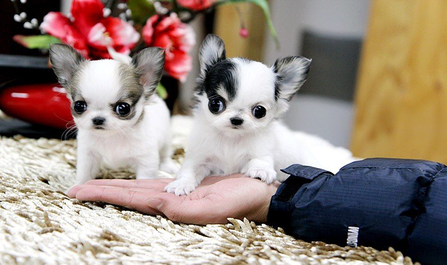 Available Puppies Buy Cheap Teacup Chihuahua Puppies Teacup