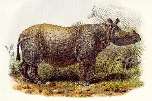 Extinct Javan rhinoceros of Sunderbans, drawing from 1877