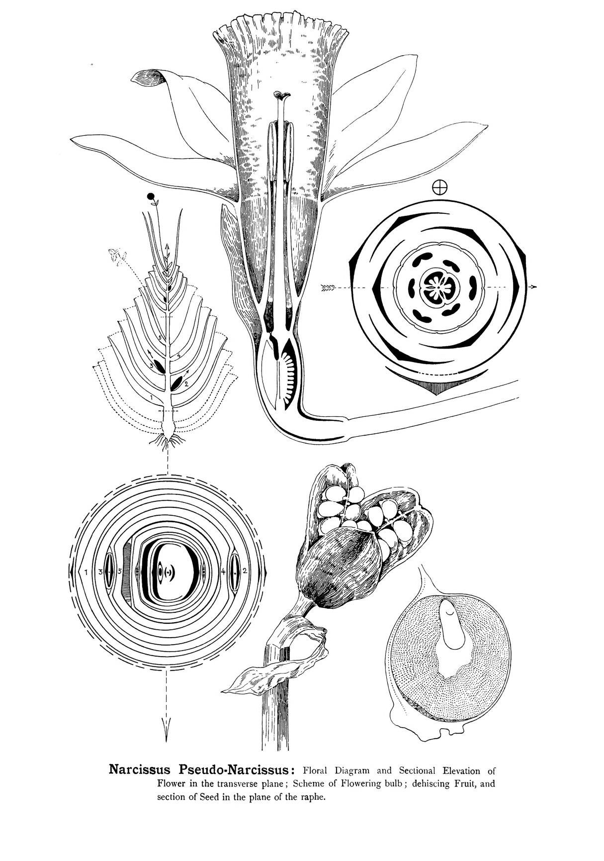 P 193   Arthur Harry Church   Types    of floral       mechanism     a selection of    diagrams    and