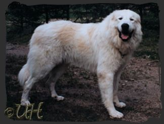 Great Pyrenees Colors Great Pyrenees Connection Great Pyrenees