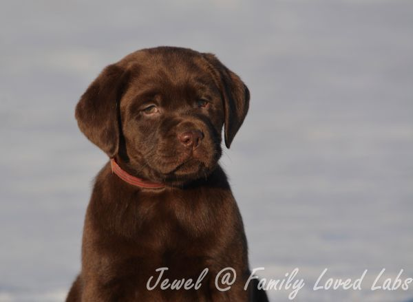 Gorgeous Chocolate English Lab Minnesota Family Loved Lab Puppy More Info At Familylovedlabs Com Lab Puppy Labrador Retriever English Lab