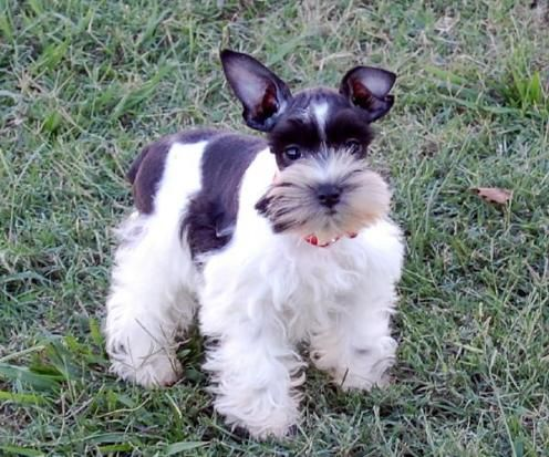 Chocolate Parti And Teacup Schnauzers For Sale Cutest Dog Ever Miniature Schnauzer Puppies Dogs And Kids